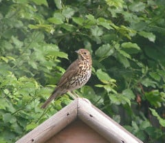 song thrush sitting on the shed
