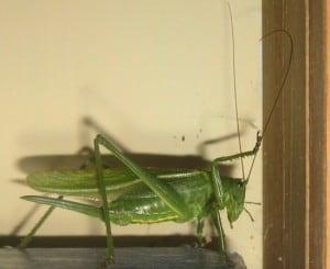 giant bush cricket