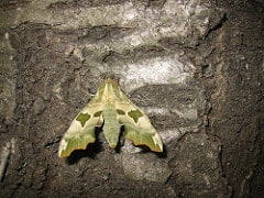 Lime Hawkmoth: London, UK 526637096 5a23f7dcfc m